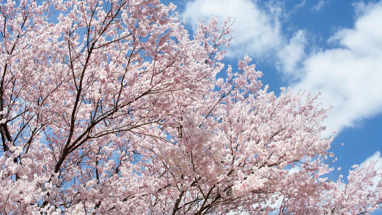 桜の画像 フリー