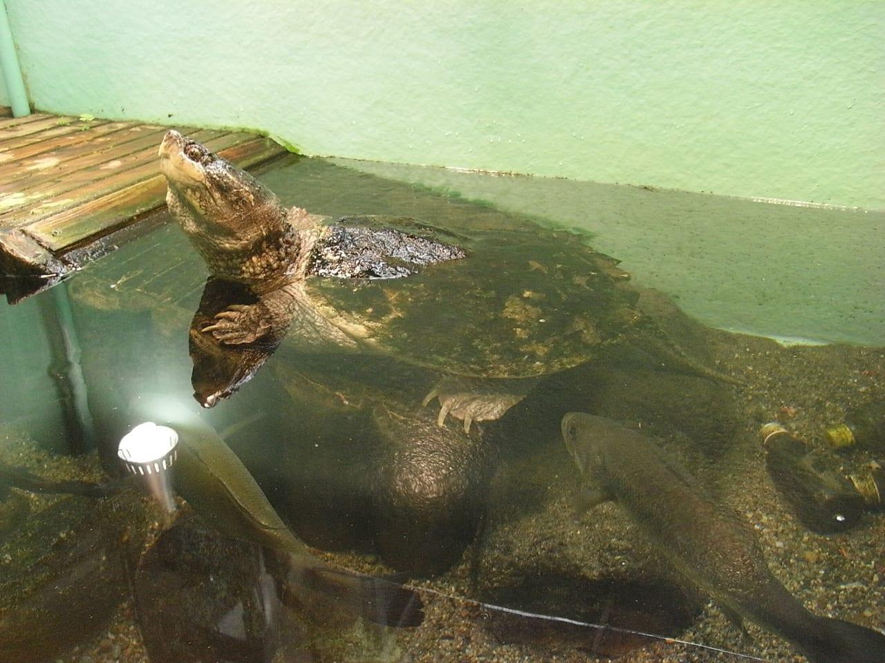 泳いでいるカミツキガメ