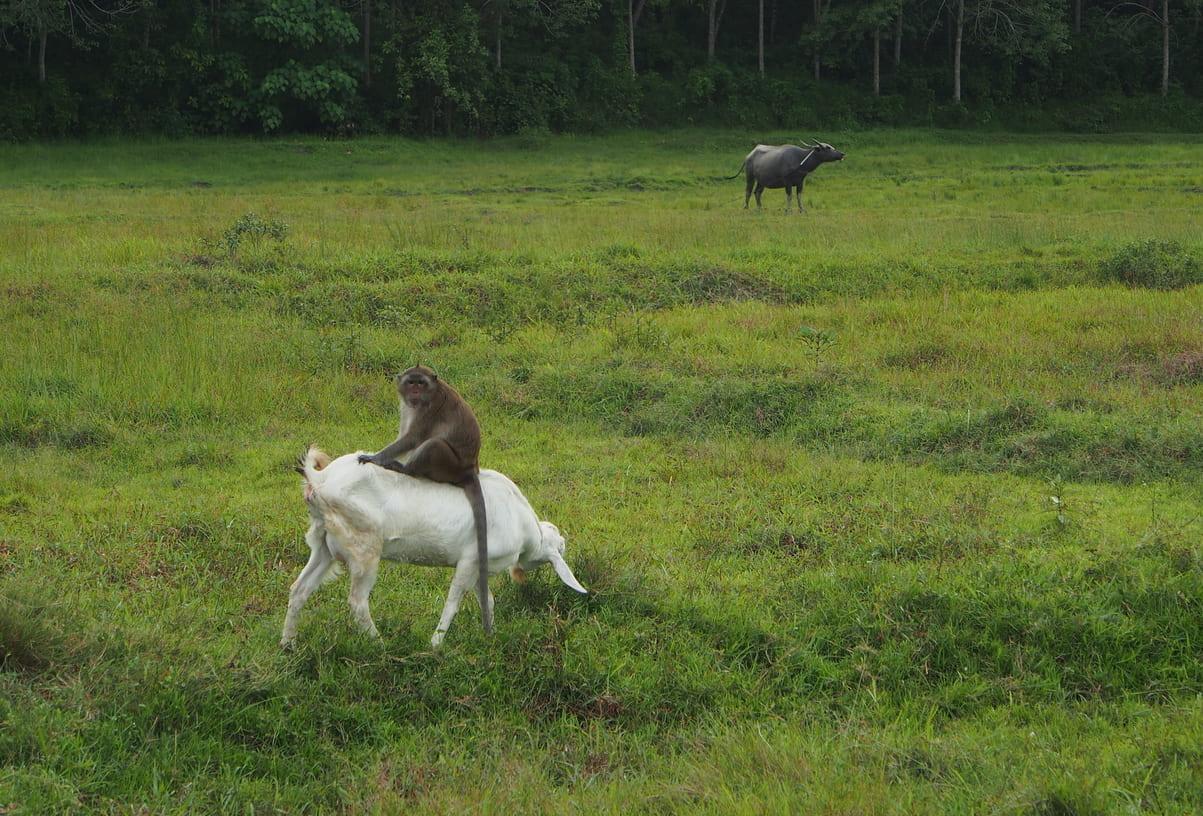 ヤギの上に乗るサル